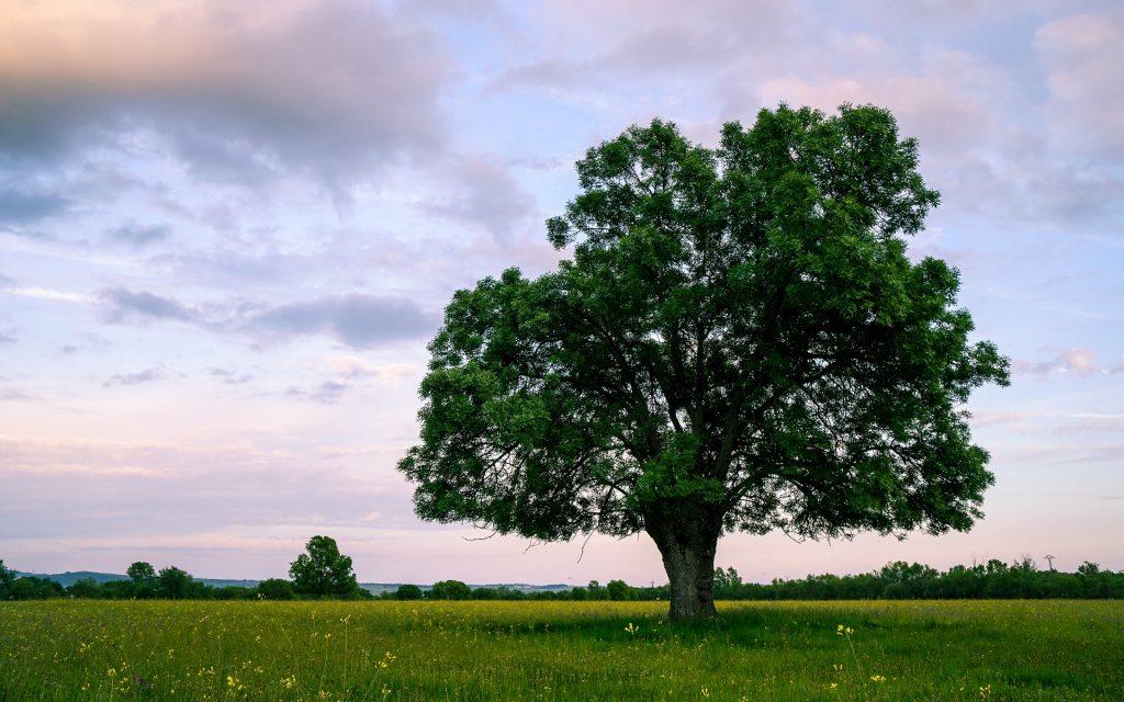 Árbol del fresno