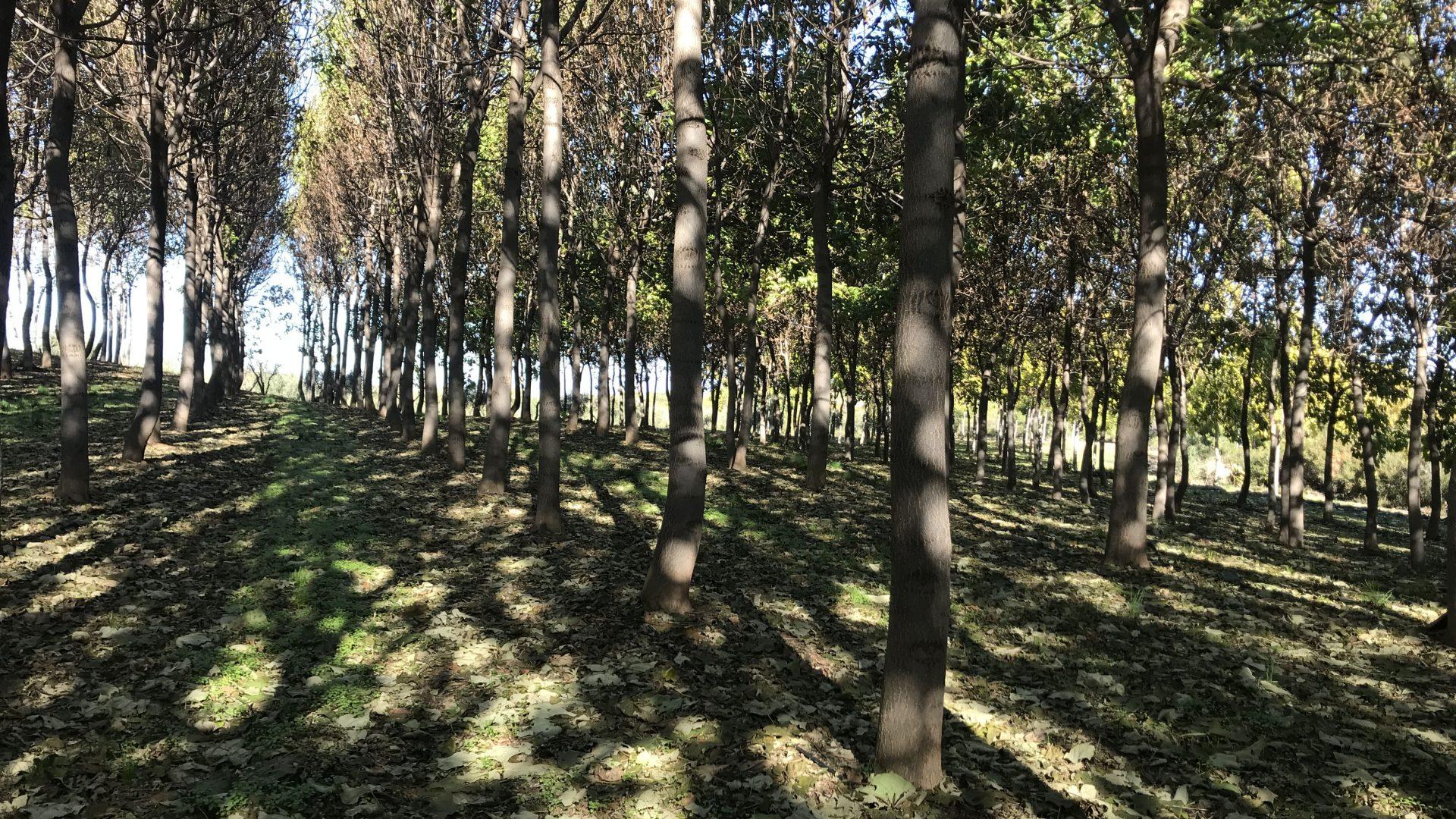 Tutorial completo del Cultivo de la Paulownia
