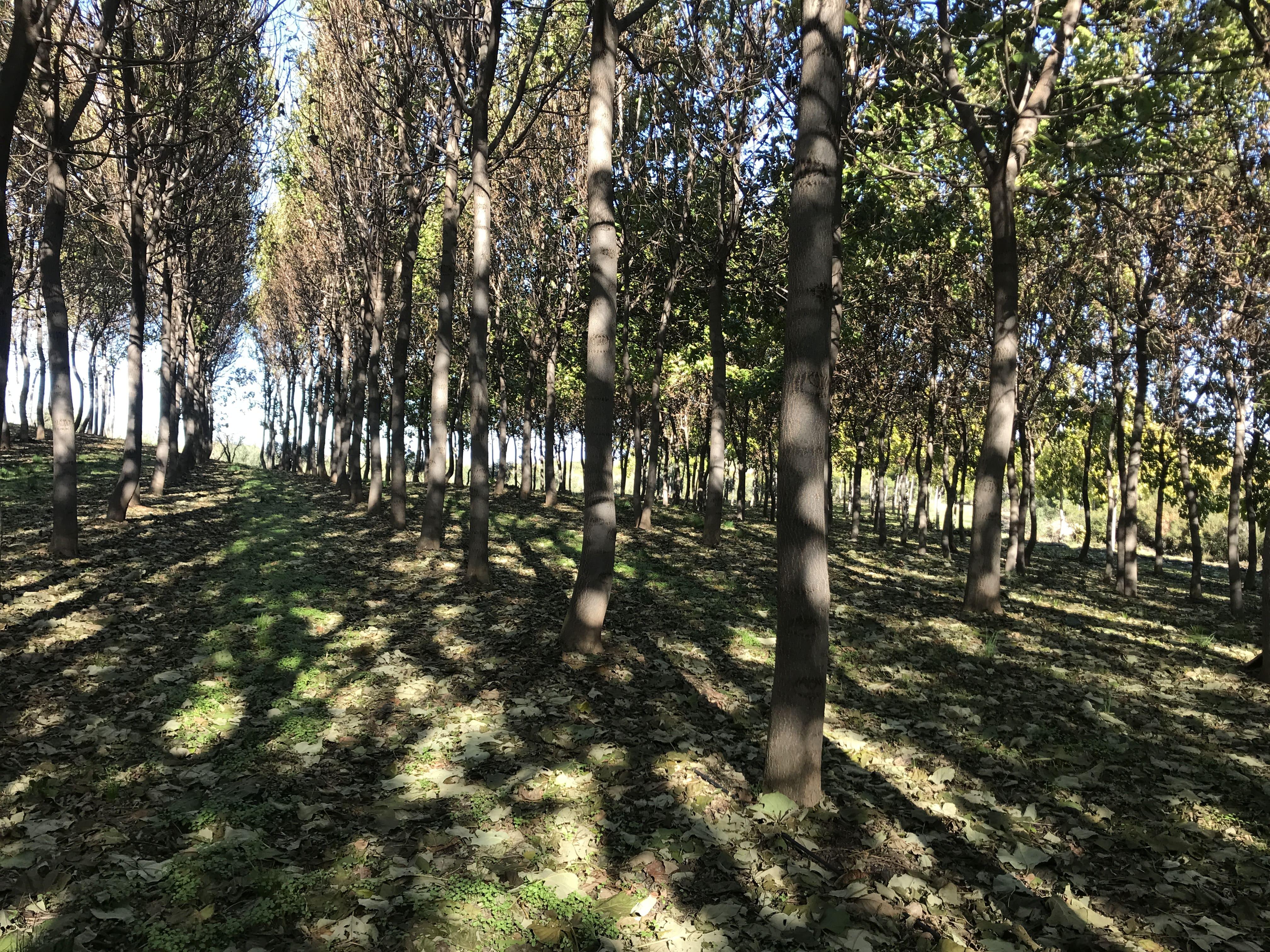 Campo de Paulownia