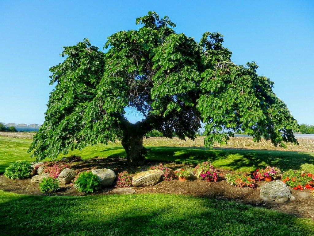 árbol de olmo
