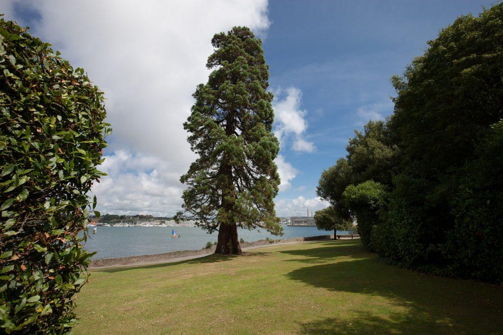 tipo árbol de cedro