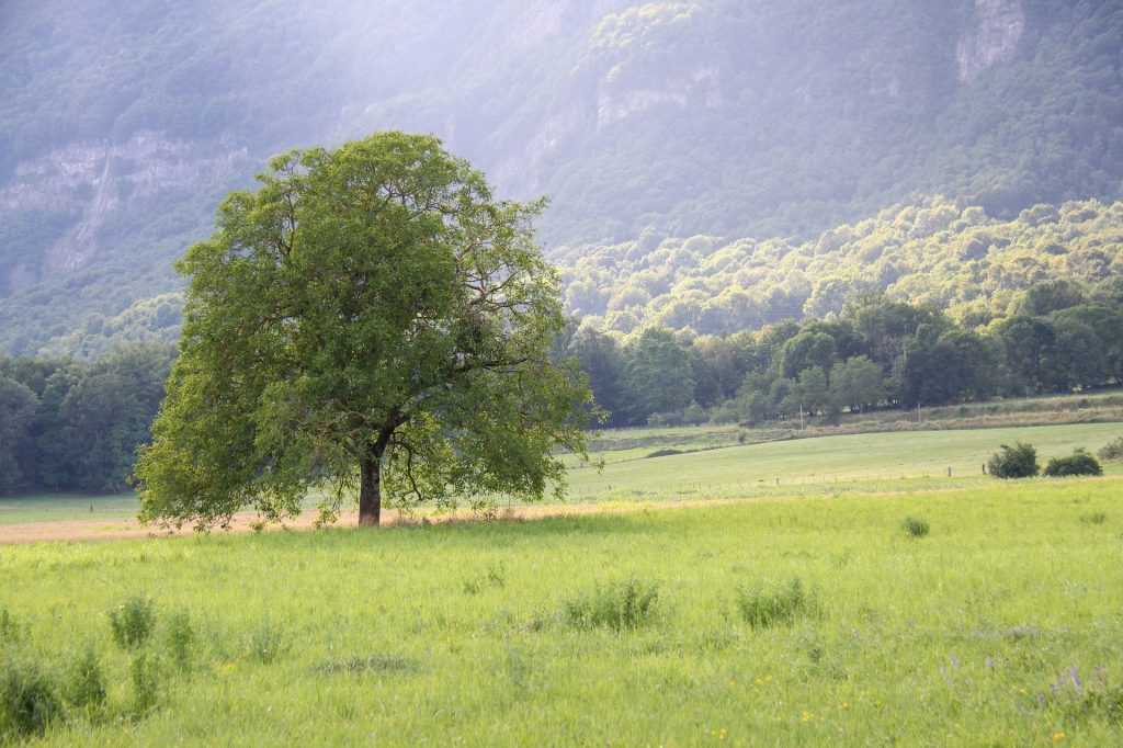 árbol nogal