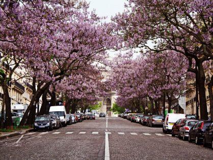 El árbol de Paulownia crece en un tiempo récord y puede producir hasta 4 veces más oxígeno que los demás.