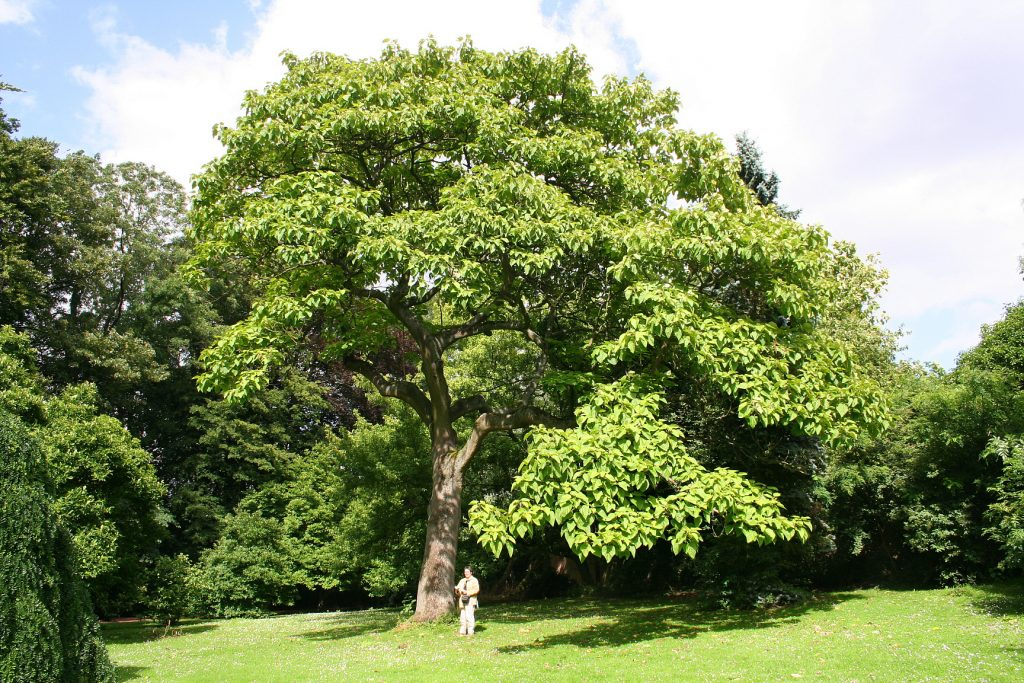 árbol de paulownia