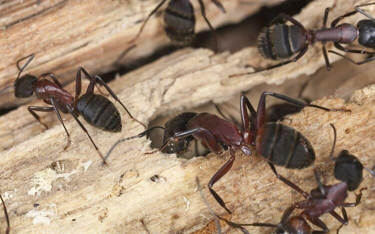 Hormigas-carpinteras