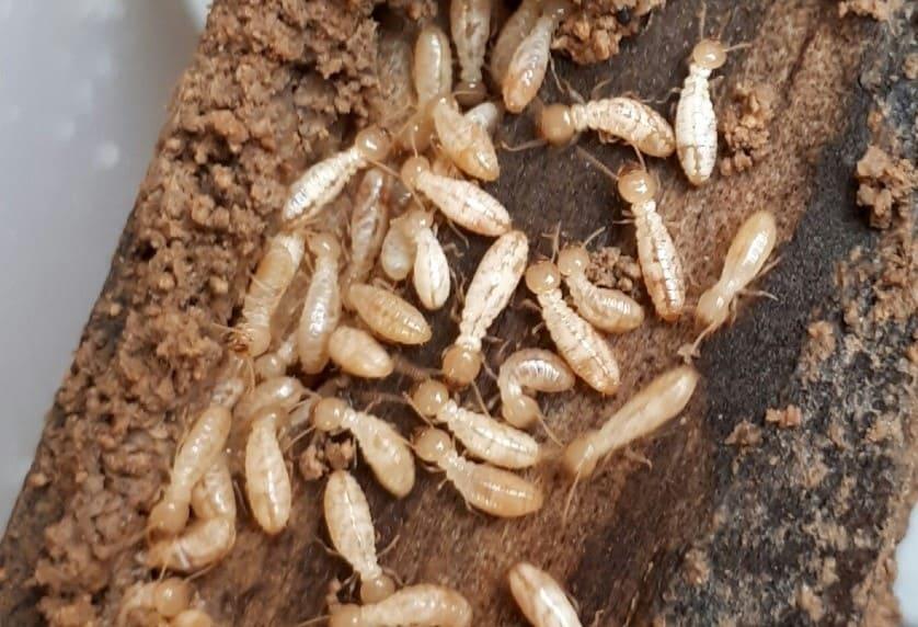 Tipos de insectos en la madera y tratamientos