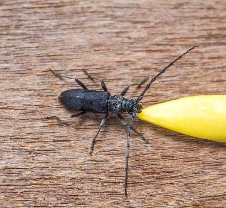 escarabajos-de-madera